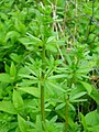 Upright Hedge Bedstraw.JPG