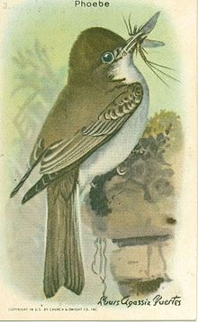Useful Birds of America - Phoebe.jpg
