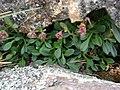 Valeriana pycnantha A Gray (34131266835).jpg