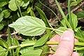 Valeriana sitchensis 9775.JPG