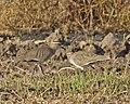 Vanellus gregarius pair.jpg