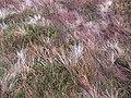 Vegetation, Cruach nan Caorach - geograph.org.uk - 616025.jpg