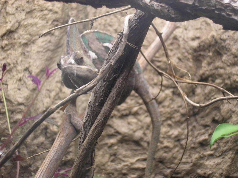קובץ:Veiled Chameleon P9240100.JPG