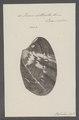 Venus litterata - - Print - Iconographia Zoologica - Special Collections University of Amsterdam - UBAINV0274 077 12 0037.tif