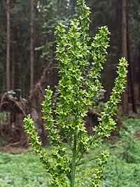 Veratrum lobelianum - inflorescence