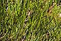 Veronica hectorii ssp. coarctata in Christchurch Botanic Gardens 01.jpg