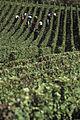 Vigne Pinot noir (Récoltes) Cl.J.Weber17 (23651614836).jpg