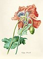 Vintage Flower illustration by Pierre-Joseph Redouté, digitally enhanced by rawpixel 08.jpg