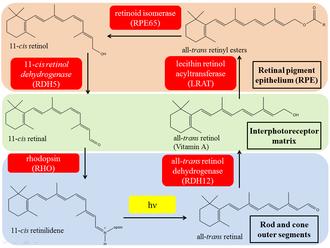 Retinol dehydrogenase - Image: Visual cycle adapted v 3