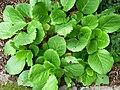 Vivid greenish plant with big leaves.JPG