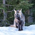 Vulpes vulpes cascadensis ⑴ — Mount Rainier.jpg