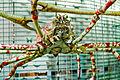 WLANL - kwispeltail - Japanse reuzenkrab.jpg