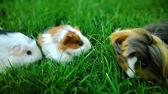 Pet - Guinea pigs