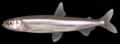 Wakasagi Adult (70mm).tif