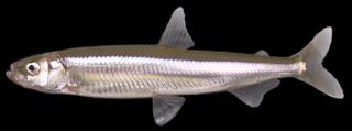 <i>Hypomesus nipponensis</i> Species of fish