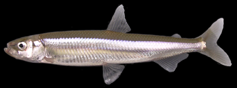 Wakasagi Adult (70mm)
