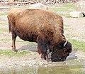 Waldbison Bison bison athabascae Tierpark Hellabrunn-8.jpg