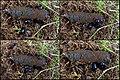 Waldmistkäfer (Anoplotrupes stercorosus) bei der Arbeit - hms(1).jpg