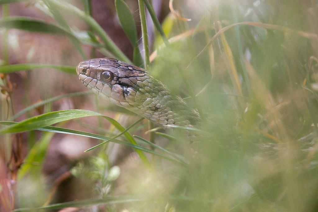 Wandering garter snake (14527195594)