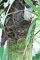Washingtonia filifera 1zz.jpg