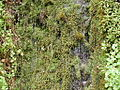 Water dripping down a moss-covered rock face.jpg