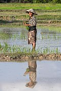 Water reflection of a smiling woman planting rice.jpg