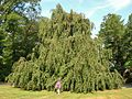 Weeping European Beech Tree (distance), Forest Hills Cemetery, Jamaica Plain, MA - August 15, 2015.jpg