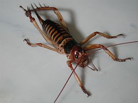 Wellington weta female.jpg