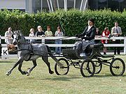 A welsh pony in fine harness competition