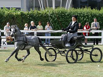 A Welsh pony in fine harness competition Welsh-A-Buggy.jpg