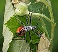 Wheel Bug Nymph. Arilus cristatus (24726140548).jpg