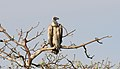 White-backed Vulture (Gyps africanus) (32688139018).jpg