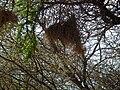 White-browed Sparrow-weaver Plocepasser mahali in Tanzania 1676 Nevit.jpg
