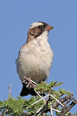 White-browed sparrow-weaver (Plocepasser mahali ansorgei) female.jpg