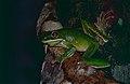 White-lipped Tree Frog (Litoria infrafrenata) (9757750742).jpg