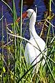 White Ibis (Eudocimus albus) (6852460694).jpg