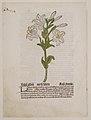 White Lily, illustration from Gart der Gesundheit (Sch.4332) MET DR108.jpg