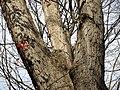 White Oak (31264306465).jpg