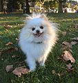 White and Cream colored Pomeranian (party colored).jpg