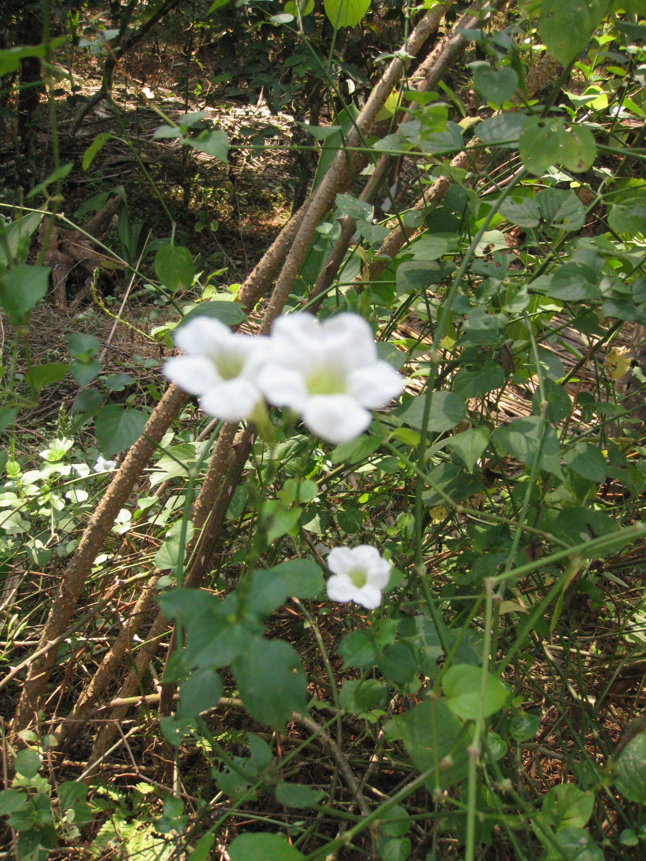 Filewhite flower creeperg wikimedia commons filewhite flower creeperg mightylinksfo