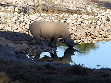 White rhino at watering hole in the morning.jpg