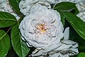 White rose in Sainte-Eulalie-d'Olt 02.jpg