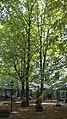 Wien 15 Naturdenkmal 649 a.jpg