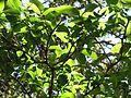 Wikstroemia oahuensis var. oahuensis (5188563854).jpg