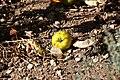 Wildäpfelchen in einem Hausgarten in Osthessen.jpg
