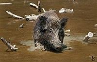 Wild Boar Habbitat 3.jpg