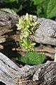 Wild Flower Slovenia 5 (35989453445).jpg
