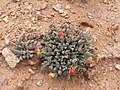 Wildflowers-Richtersveld-PICT2612.jpg