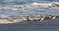 Willet, Tringa semipalmata, Moss Landing and Monterey area, California, USA. (30883553676).jpg
