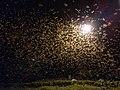 Winged termites swarming IMG 20201021 191740.jpg